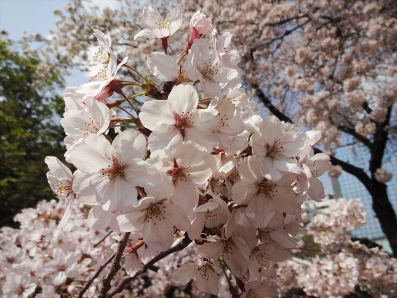 新宿御苑 ソメイヨシノ